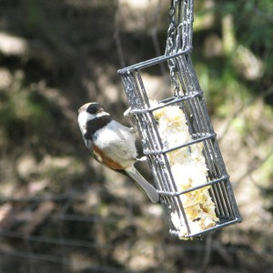 Chestnut-backed Chickadee at lunch