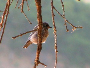 BLUEBIRD YNG--EM LAKE