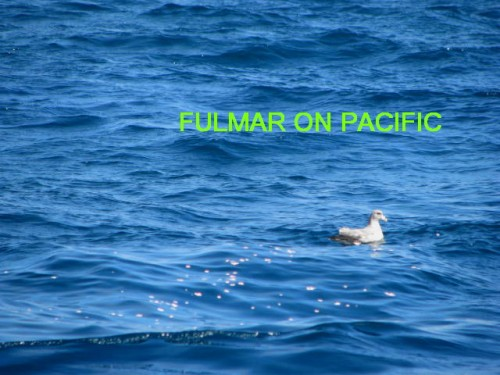 FULMAR ON PACIFIC
