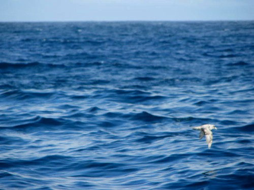 FULMAR OVER OCEAN