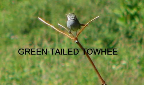 GT TOWHEE LABELD