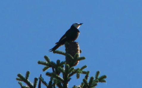 wh woodpecker1