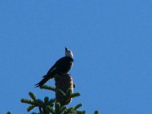 wh woodpecker2