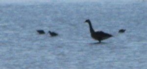GOOSE DOWITCHERS