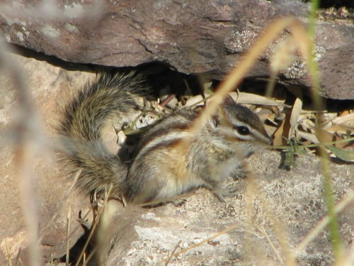 LEAST CHIPMUNK 10-9-09