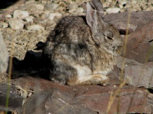 NUTTALL'S COTTONTAIL IN SUN