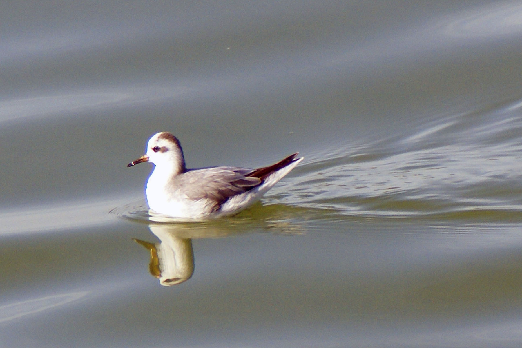 Red Phalarope Winter Red Phalarope