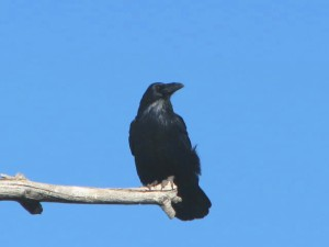 ROADSIDE RAVEN BEST