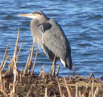 Washington State Birds Towheeblog