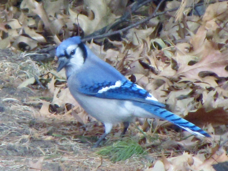Nebraska Birds Towheeblog