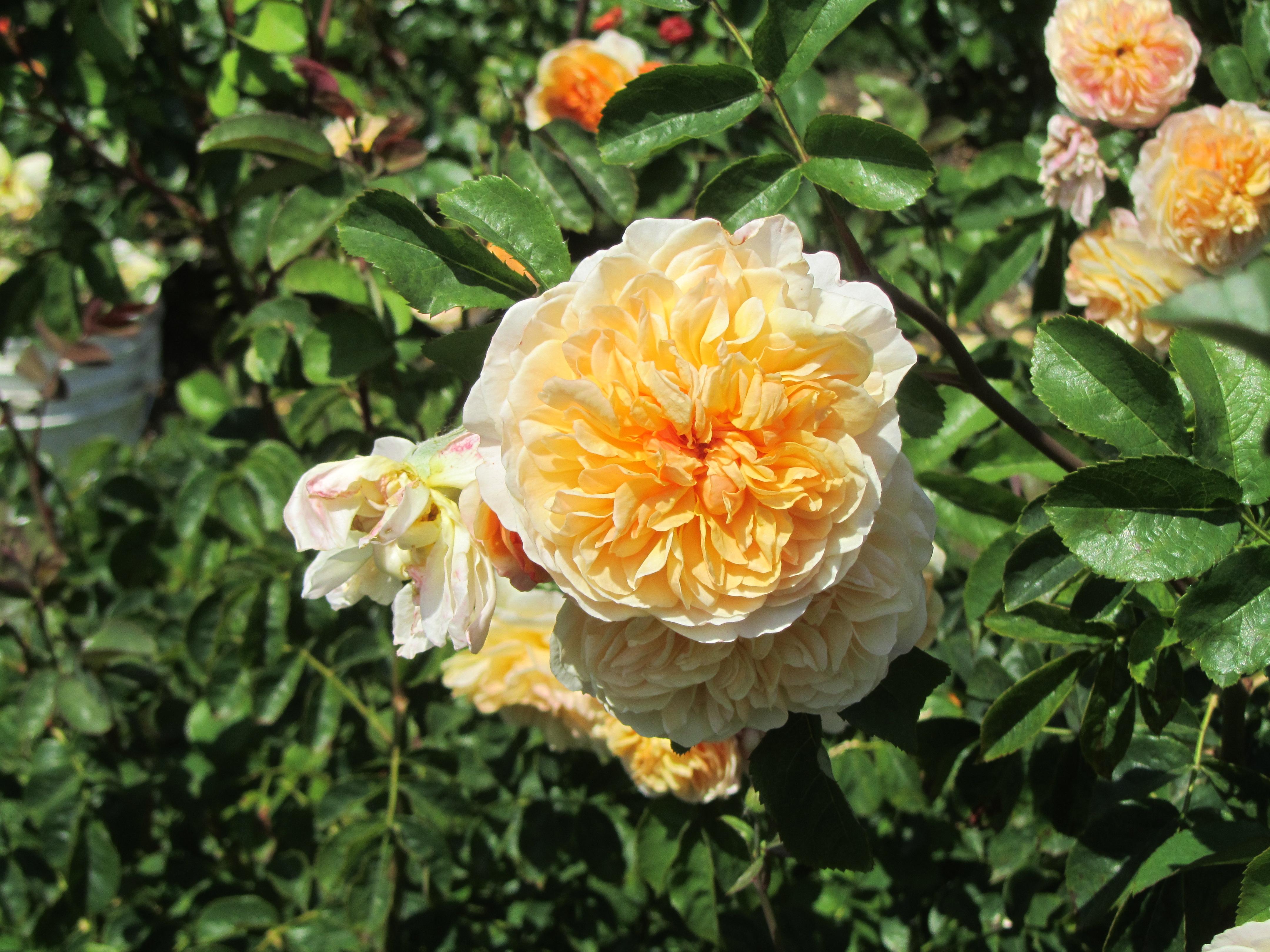 I Never Promised You A Rose Garden Towheeblog