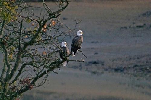 bald eagle 4617