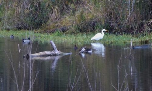 egret ashore (1280x960)