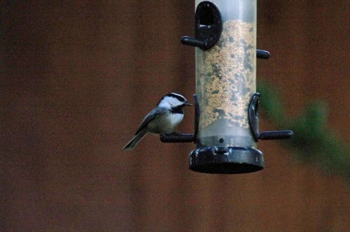 mountain chickadee 4649