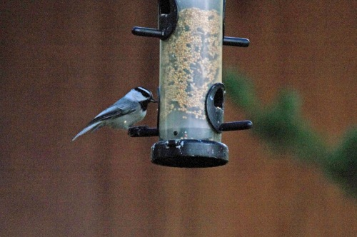 mountain chickadee 4657