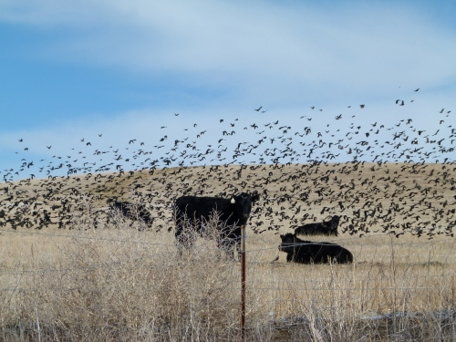 COWBIRDS (1280x960)