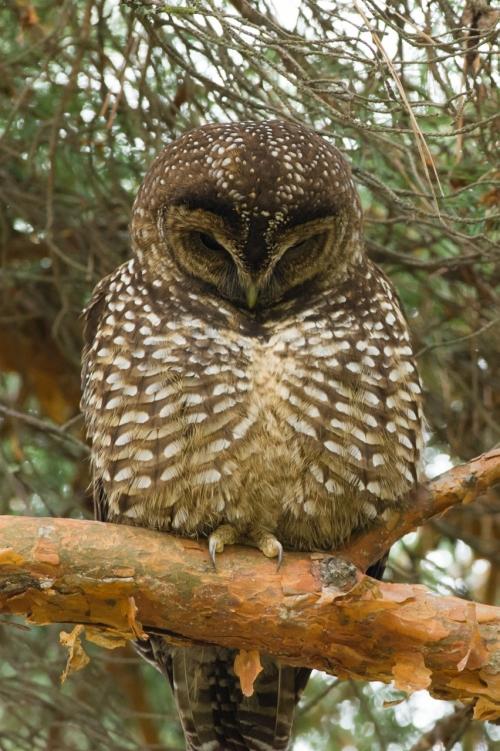 Owl-2 (852x1280)
