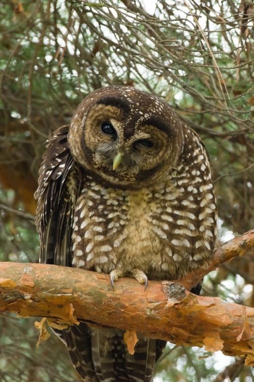 Owl-3 (852x1280)