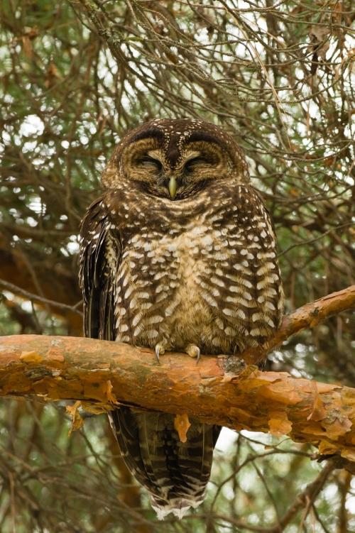 Owl-4 (852x1280)