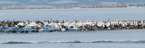 SWANS ON ICE (1280x960)
