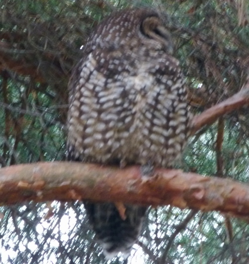 owl askance (1208x1280)