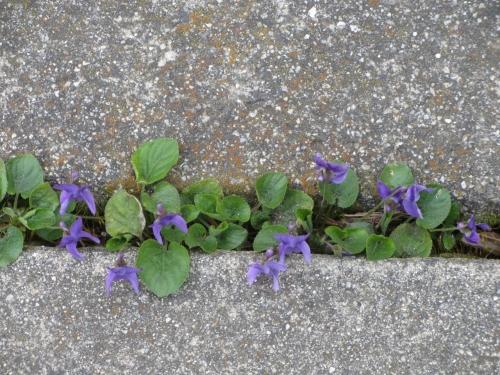 sidewlk violets