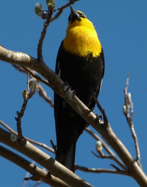yellow-head