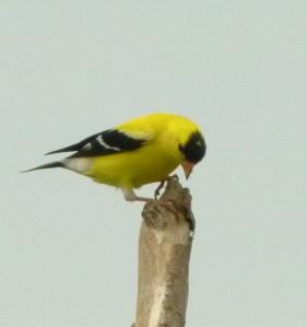 AMGO BIRD