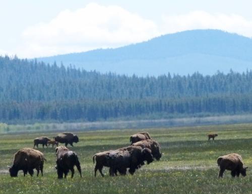 buffalo roam1