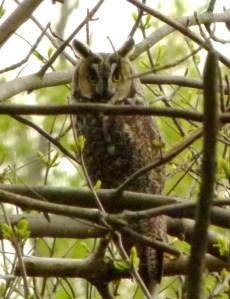le owl1
