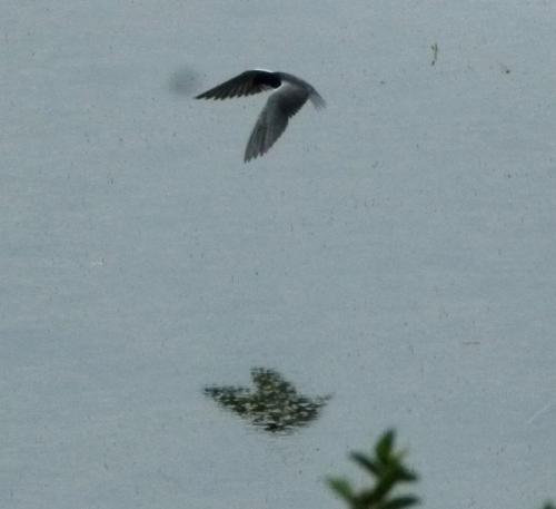 bl tern wings (1280x1280)
