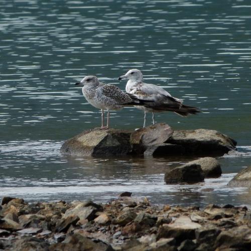 gulls sidebyside (1280x1280) (1280x1280)