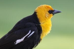 yellow-headed blackbird (10 crop) (1280x854)