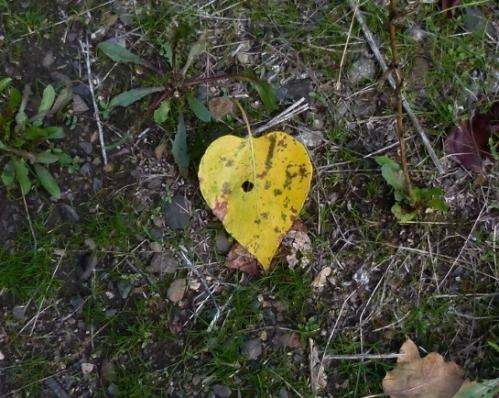c-wood leaf