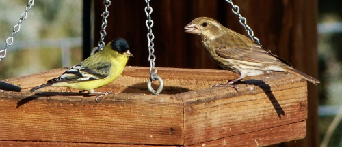FINCHES-TWO