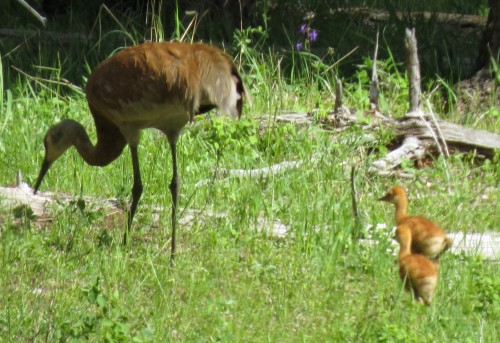 Sandhill Cranes, 5-25-2013, near Lily Glen