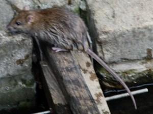 londn rat2