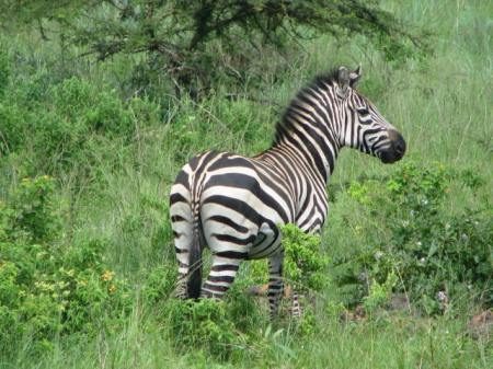 ZEBRA LOOKS AWAY