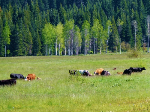 cow meadow