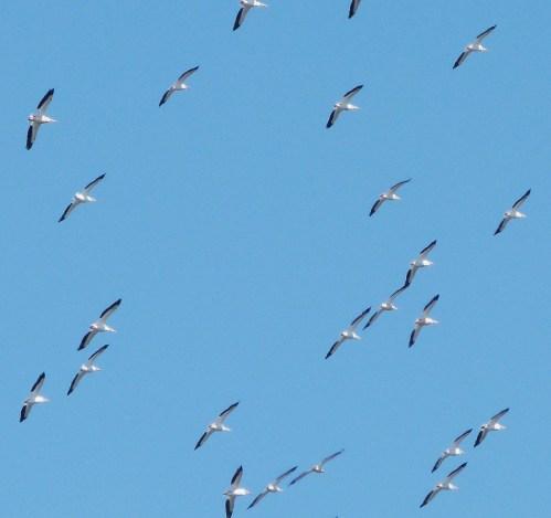 pelicanex-3