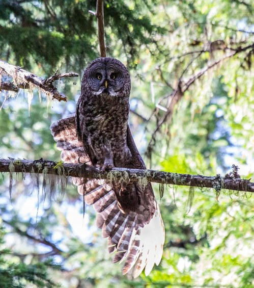 Great Gray Owl 2014_07_04_19305s