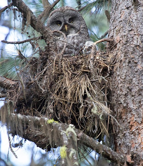 Great Gray Owl 2014_07_04_19399s