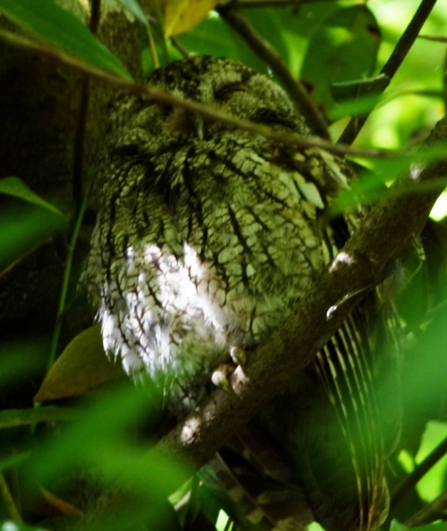 laurel-owl