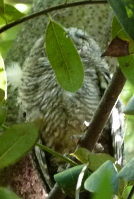 owl hides