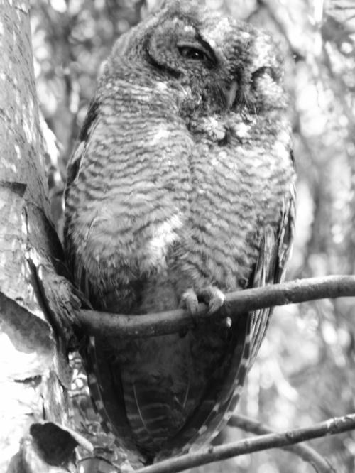 owl peep