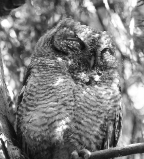 owlsleep1