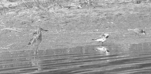 shorebirds3