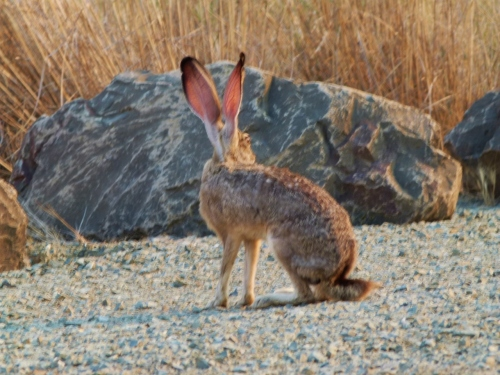 BIG-EARS1
