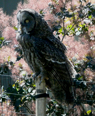 great_gray_owl