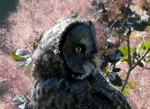 great_gray_owl_face